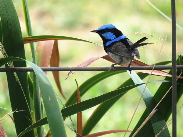 Photograph - Fairy-wren 1 by Joan Stratton