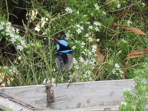 Photograph - Fairy-wren 3 by Joan Stratton