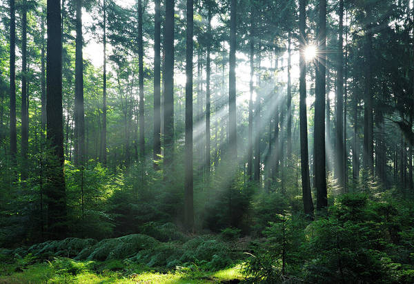 Boreal Forest Photograph - Fairytale Forest - Sunbeams In Natural by Avtg