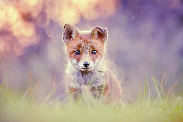 Wall Art - Photograph - Fairytale Fox Series - Baby Fox by Roeselien Raimond