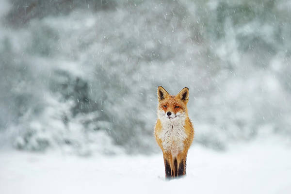 Flake Photograph - Fairytale Fox Series - Fox In A Blizzard by Roeselien Raimond