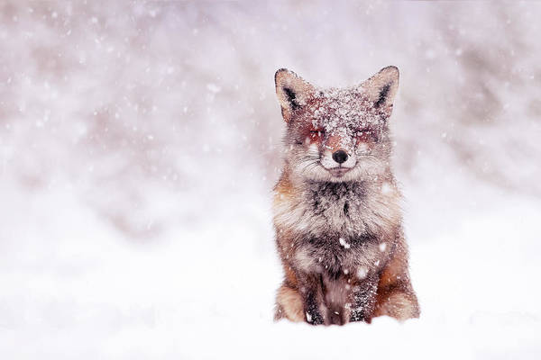 Flake Photograph - Fairytale Fox Series - Happy Fox by Roeselien Raimond