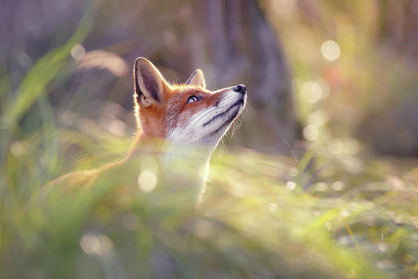 Wall Art - Photograph - Fairytale Fox Series - Head Up High by Roeselien Raimond