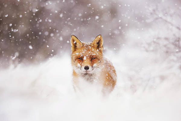 Flake Photograph - Fairytale Fox Series - Silent Fox In A Snowy Scene by Roeselien Raimond