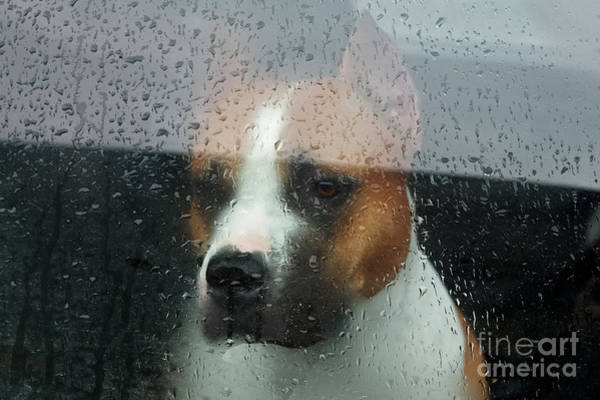 Wall Art - Photograph - Faithful Dog Sitting In A Car And by Dimedrol68