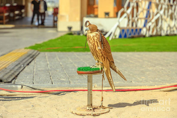 Photograph - Falcon At Falcon Souk by Benny Marty