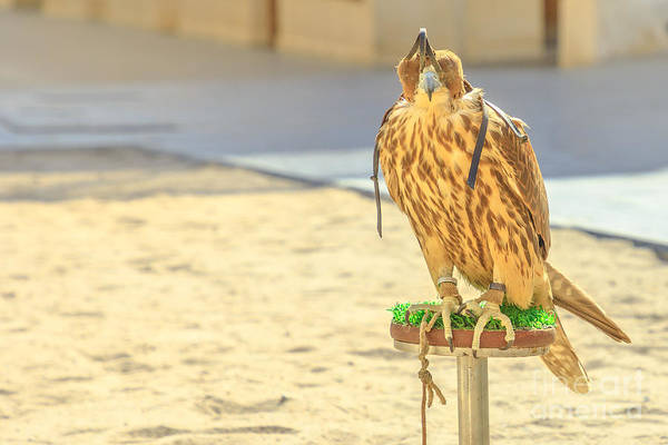 Photograph - Falcon At Falcon Souq by Benny Marty