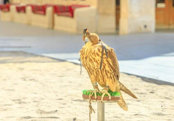 Photograph - Falcon In Doha by Benny Marty