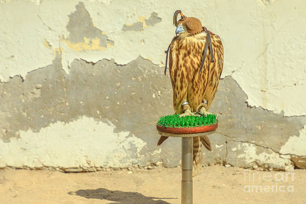 Photograph - Falcon On Wall Background by Benny Marty