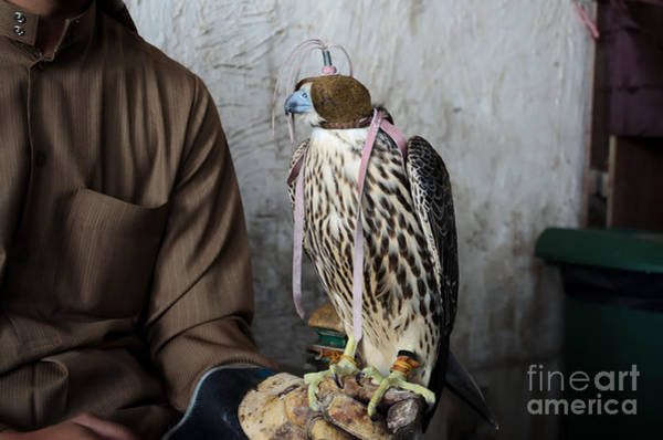 Arabic Photograph - Falconer With His Falcon, Used For by Ipics