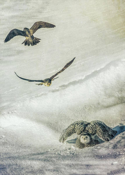 Photograph - Falcons Attack Snowy Owl by Bob Orsillo