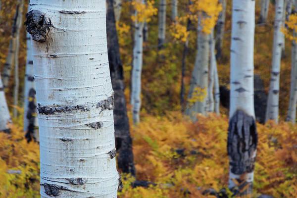 Photograph - Fall Aspen Forest by John De Bord