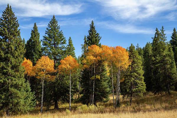 Photograph - Fall Aspen by Michael Chatt