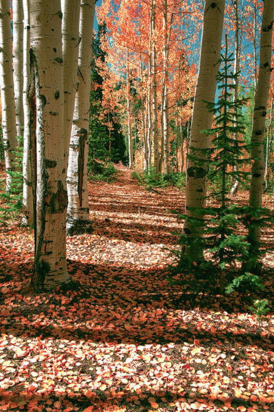 Photograph -  Fall Aspen Tree Hike By Olena Art  by OLena Art - Lena Owens