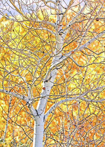 Wall Art - Photograph - Fall Aspen Tree by Jennie Marie Schell