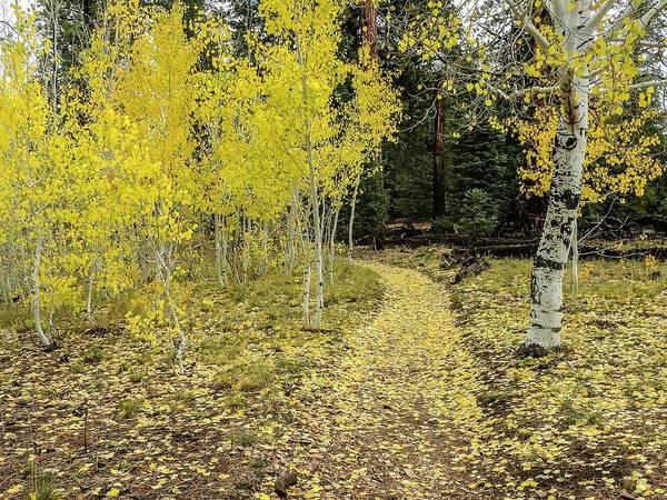 Photograph - Fall Aspens Along Widforss Trail Grand Canyon by NaturesPix