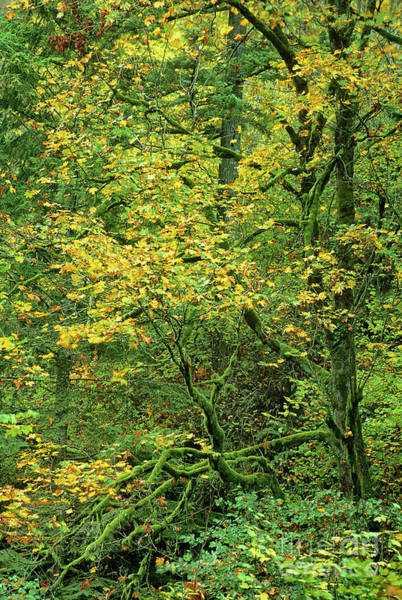 Photograph - Fall Color Big Leaf Maple Columbia River Gorge Oregon by Dave Welling