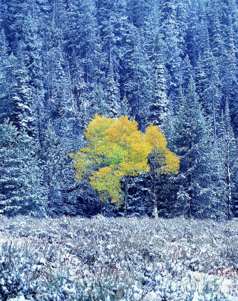 Photograph - Fall Colored Aspen Populus Tremuloides Snowstorm Grand Tetons National Park Wyoming by Dave Welling
