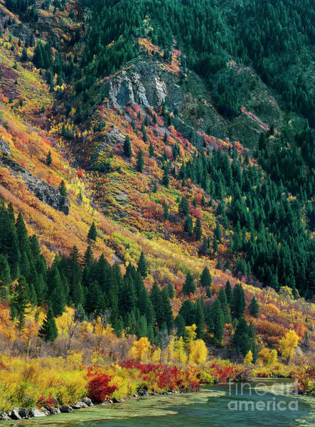 Photograph - Fall Colored Aspens Populus Tremuloides Stream Provo County Utah by Dave Welling