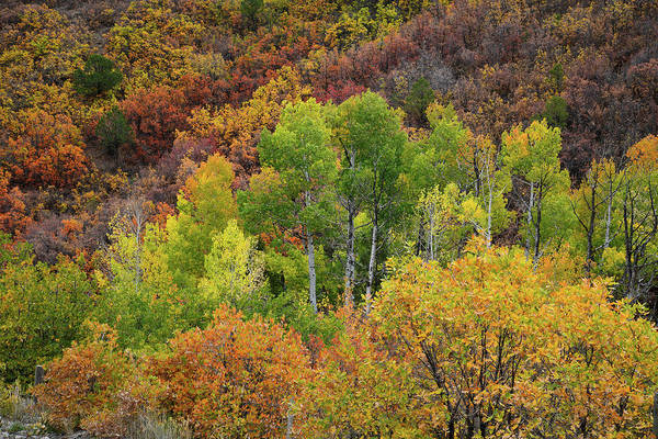 Photograph - Fall Colored Hillside Near Ridgway Colorado by Ray Mathis