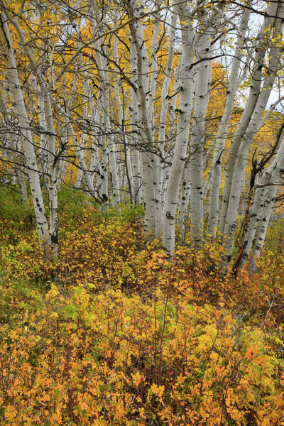 Photograph - Fall Colors On Last Dollar Road In Co by Ray Mathis