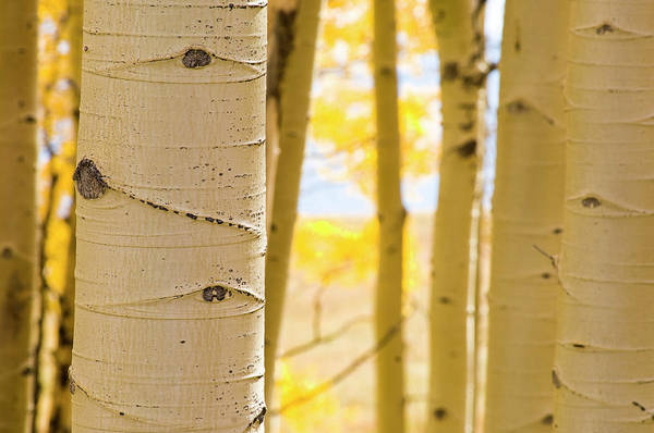 Aspen Photograph - Fall Colors by Seanfboggs