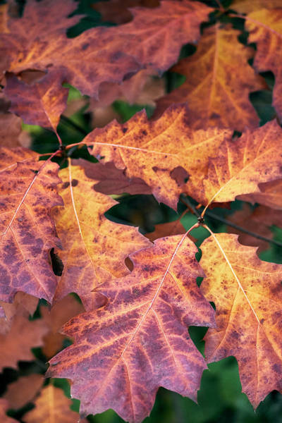 Photograph - Fall Flames by Whitney Goodey
