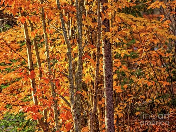Wall Art - Photograph - Fall Foliage Grantham Ash Lane by Edward Fielding