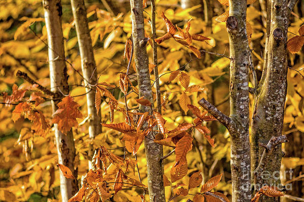 Photograph - Fall Foliage New Hampshire 5481 by Edward Fielding