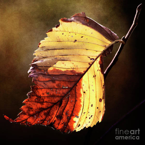Photograph - Fall Leaf by Pam  Holdsworth