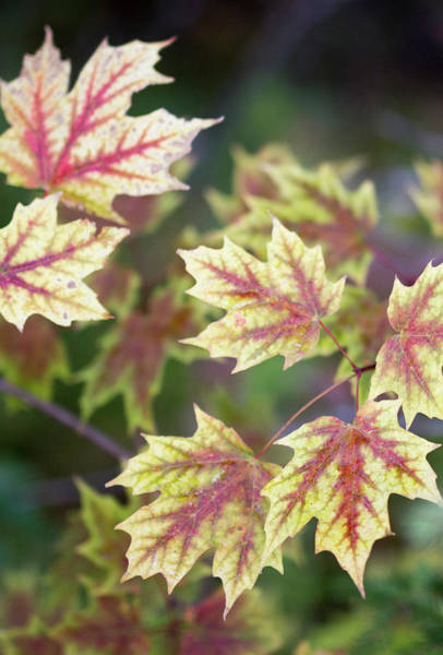 Photograph - Fall Red And Yellow Leaves 10081501 by Rick Veldman