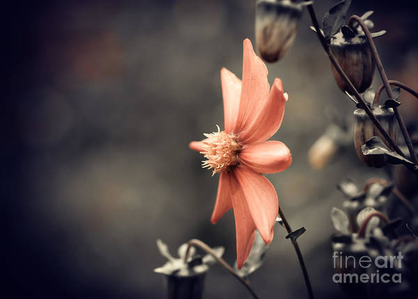 Cultivated Wall Art - Photograph - Fall Season Red Flower Closeup by Iraua