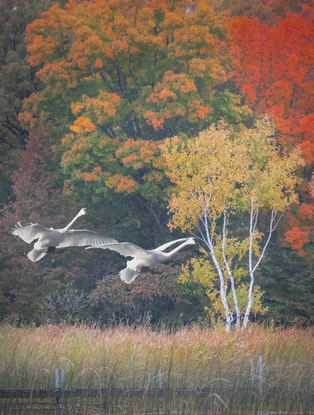 Photograph - Fall Swan Landing - Vertical by Patti Deters