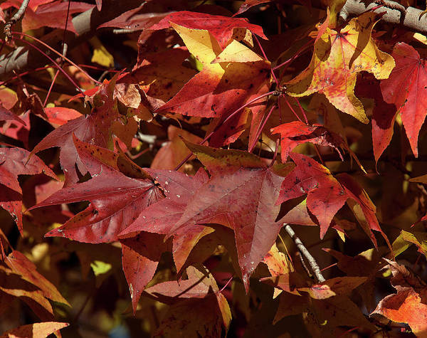 Photograph - Fall Sweetgum Leaves Df004 by Gerry Gantt
