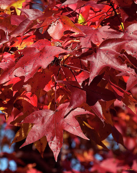 Photograph - Fall Sweetgum Leaves Df005 by Gerry Gantt