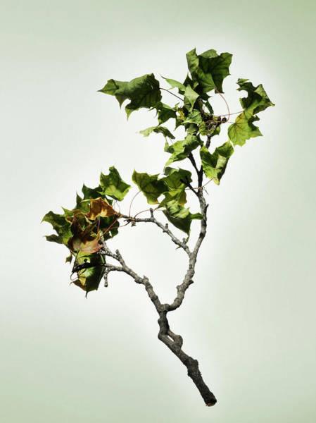 Leaf Photograph - Fallen Dried Branch by Renold Zergat