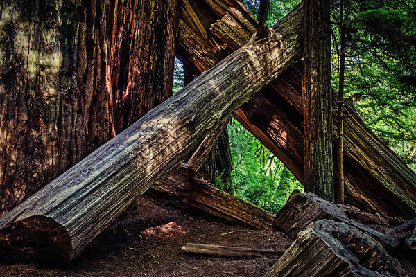 Photograph - Fallen Redwoods In Stout Grove by Stuart Litoff