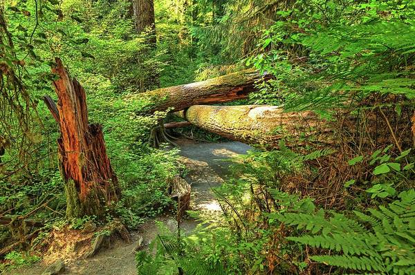 Fallen Trees In The Hoh Rain Forest Art Print