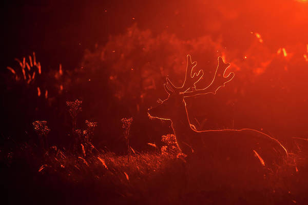 Red Deer Photograph - Fallow Deer Silhouette At Sunset by Roeselien Raimond
