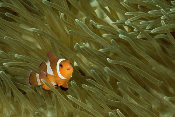 Hiding Photograph - False Clown Anemonefish Amphiprion by Jeff Hunter