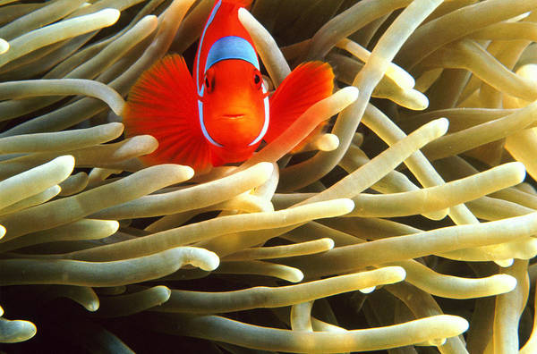 Underwater Camera Photograph - False Clown Anemonefish Amphiprion by Stuart Westmorland