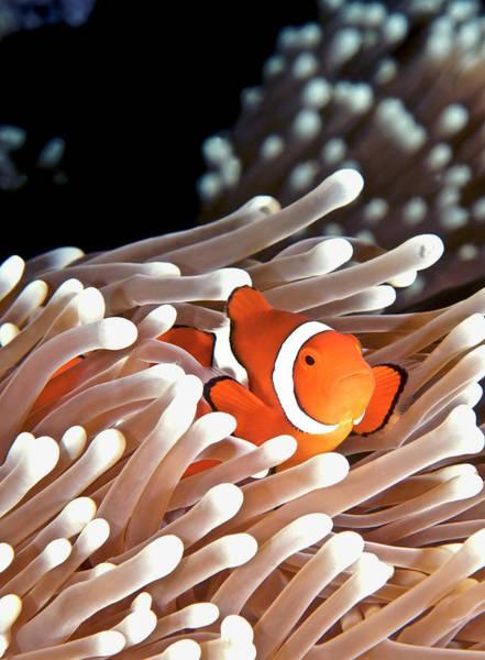 Underwater Photograph - False Clown Anemonefish by Copyright Melissa Fiene