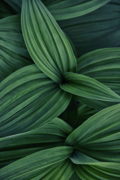 Photograph - False Hellebore Plant Abstract by Nathan Bush