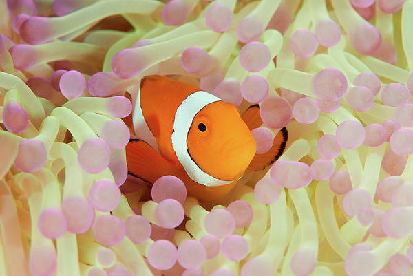 Wall Art - Photograph - False Or Western Clown Anemonefish by Jones/shimlock-secret Sea Visions