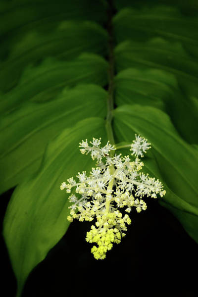 Photograph - False Solomon's Seal by Carolyn Derstine