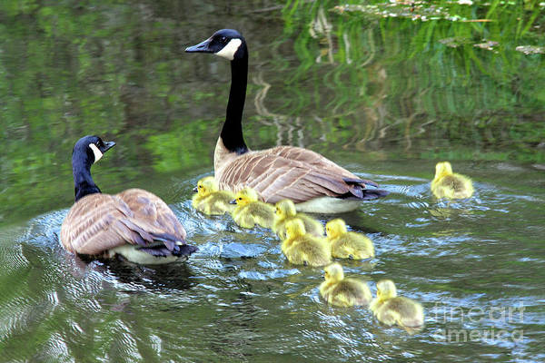 Wall Art - Photograph - family of Canada geese in water swimming with eight goslings by Robert C Paulson Jr