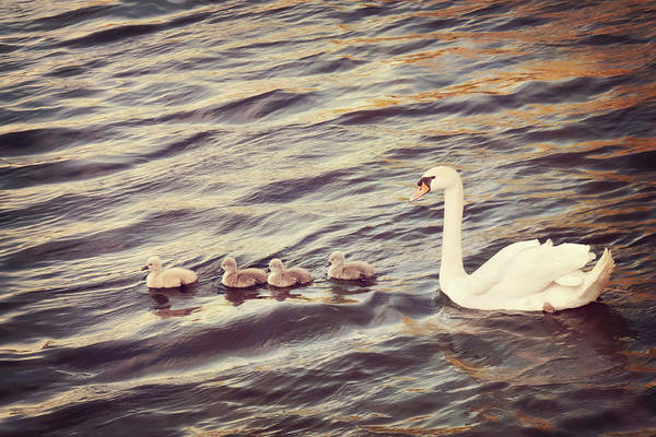 Just Birds Photograph - Family Of Swans by Just A Click