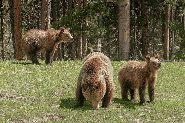 Photograph - Famous Griz 399 by Ronnie and Frances Howard