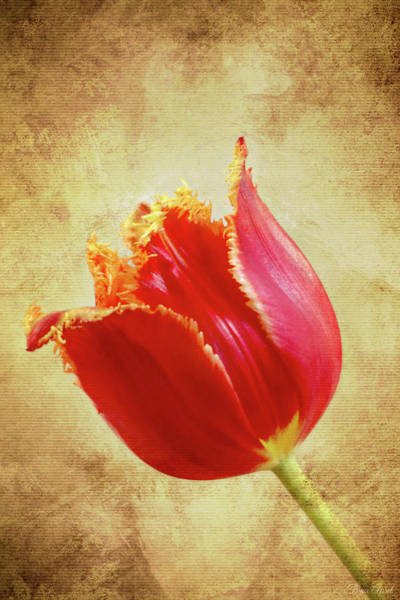 Photograph - Fancy Red And Yellow Tulip by Trina Ansel
