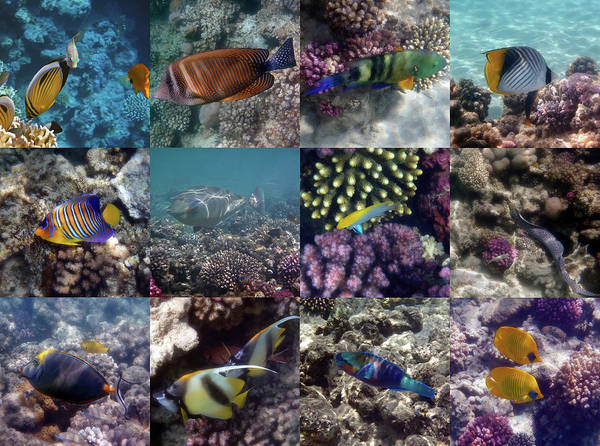 Photograph - Fantastic Red Sea Underwater Sealife Collage by Johanna Hurmerinta